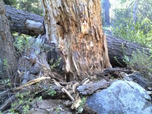 Bjørn har rotet etter insekter i treet